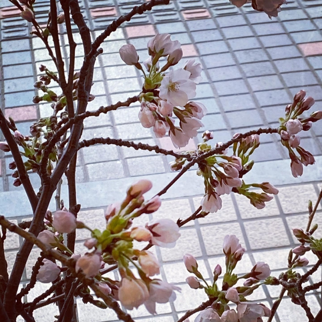 あっというまに桜咲きましたね🌸🌸